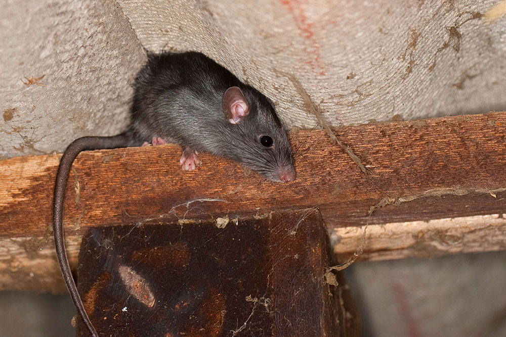 Dachratten2 How to get rid of roof rats once and for all