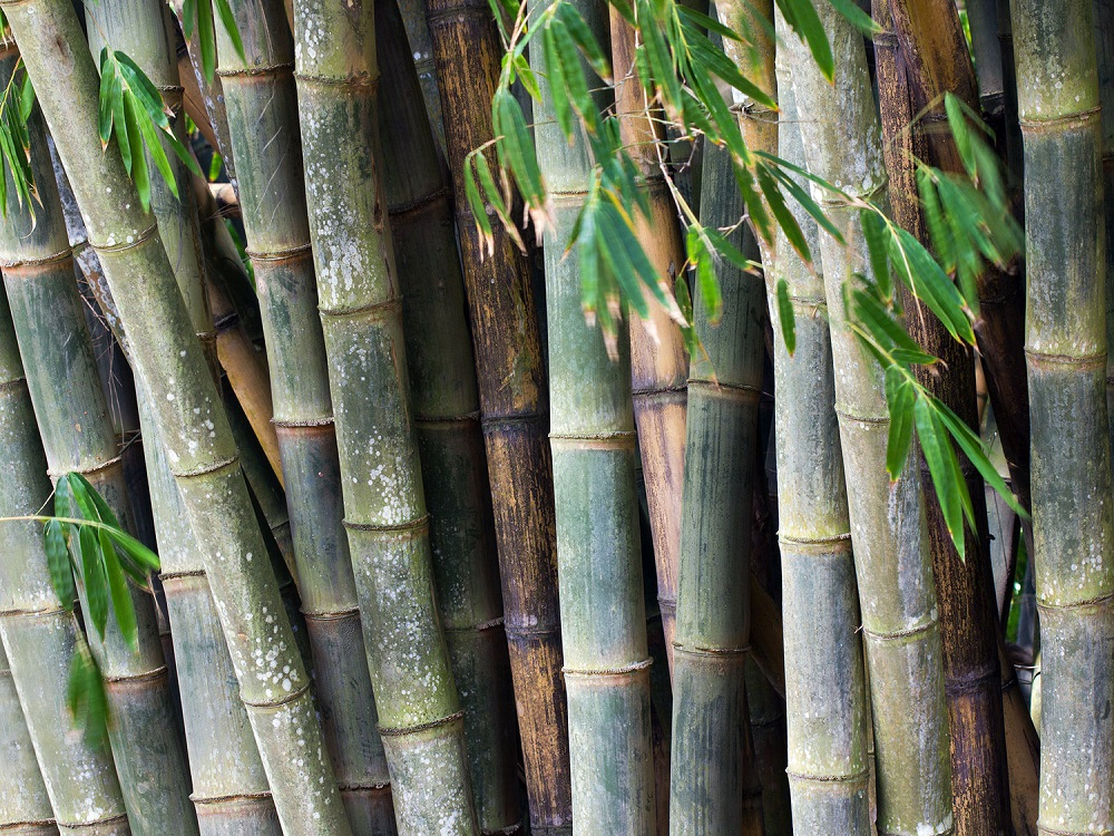 t3-2 The different types of bamboo you should know