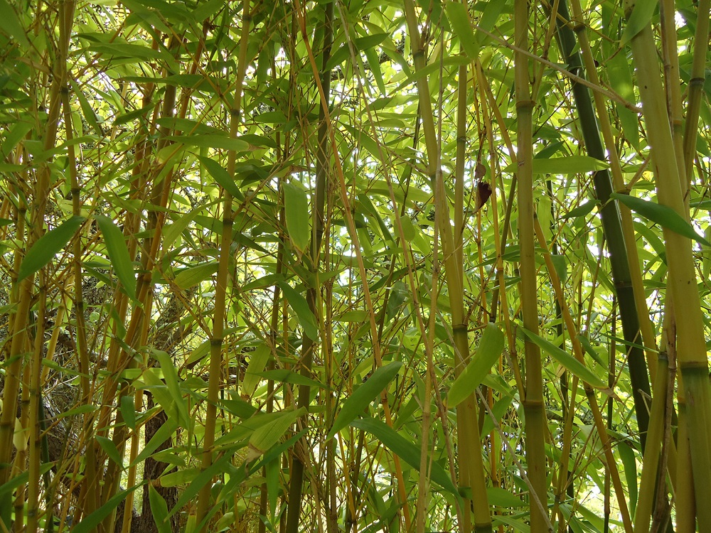 t3-99 The different types of bamboo you should know