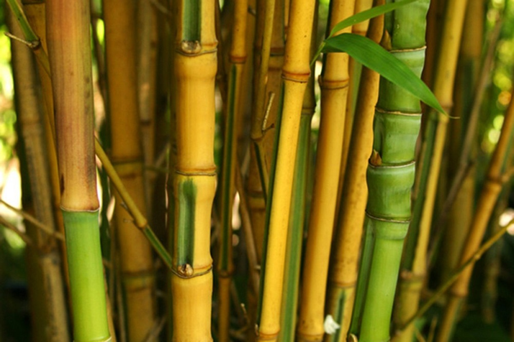 t3-100 The different types of bamboo you should know