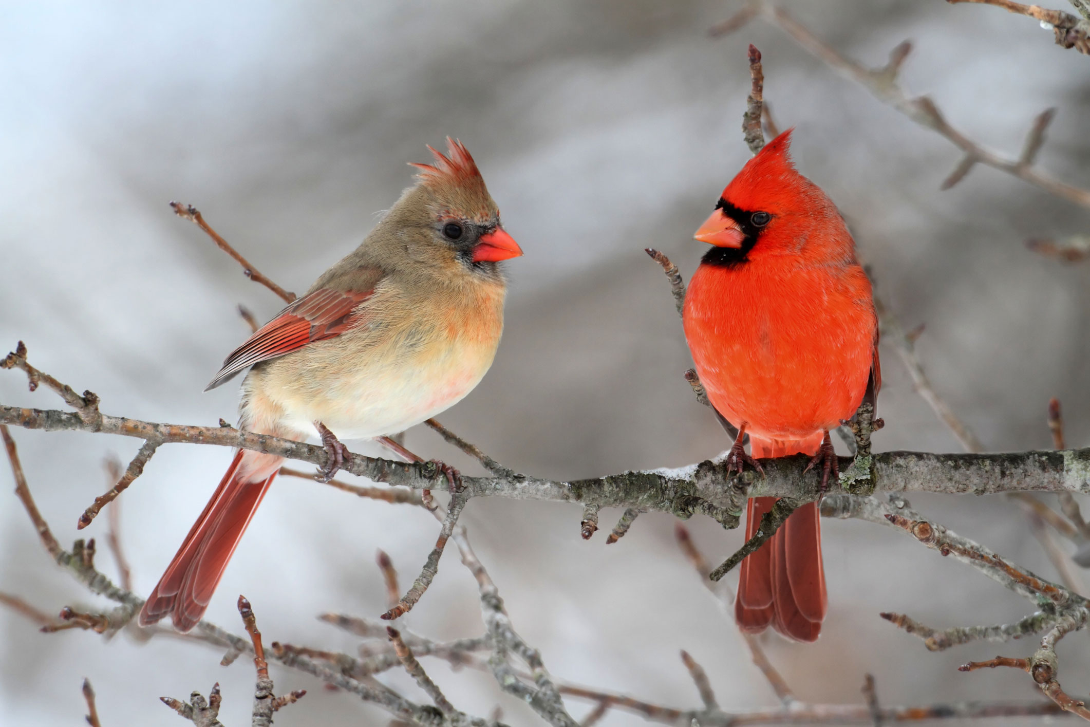 carrdinal11 How To Dress Cardinals In The Back Yard Of Your Home (Great Tips)