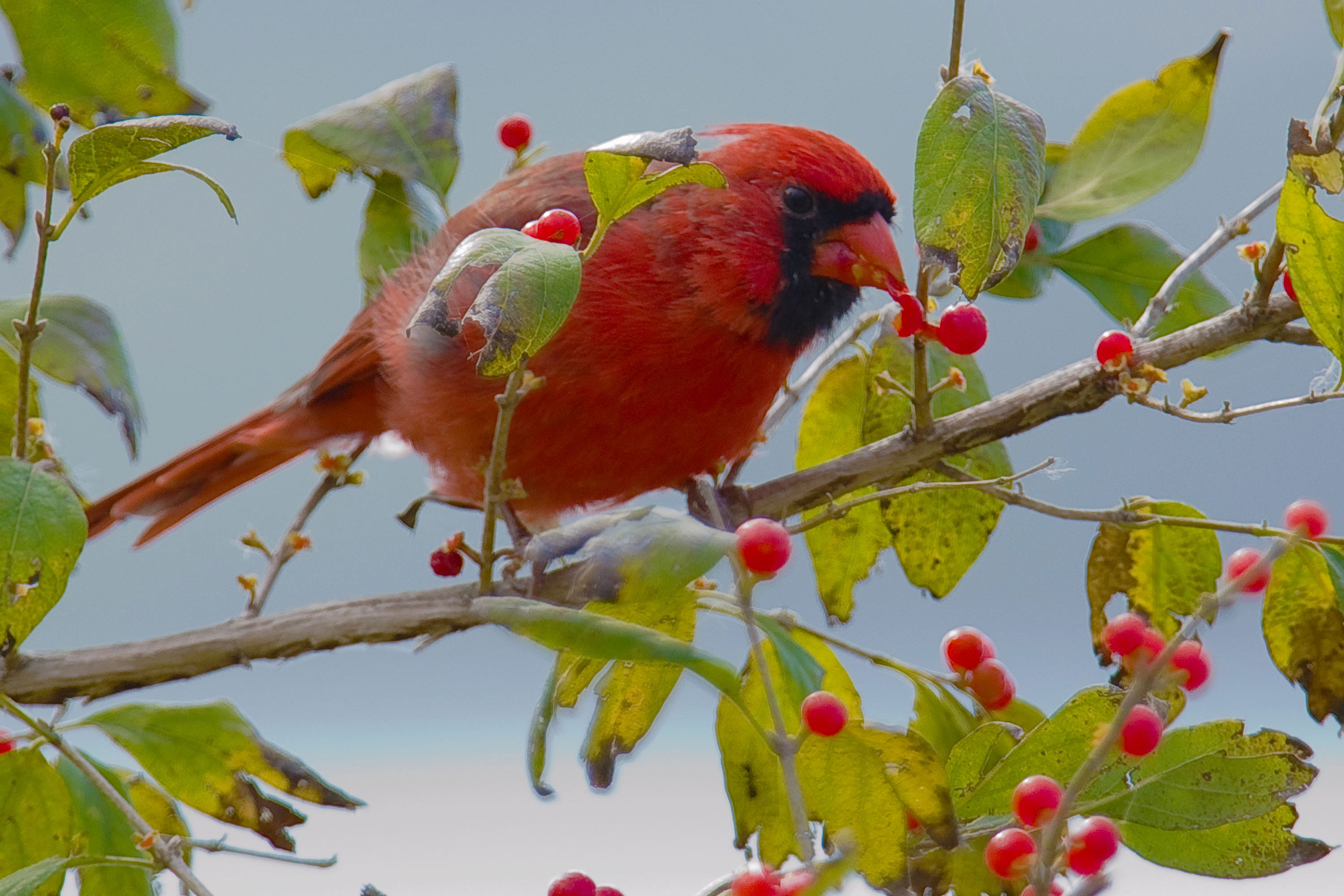 Berries How to Dress Cardinals in the Back Yard of Your Home (Great Tips)