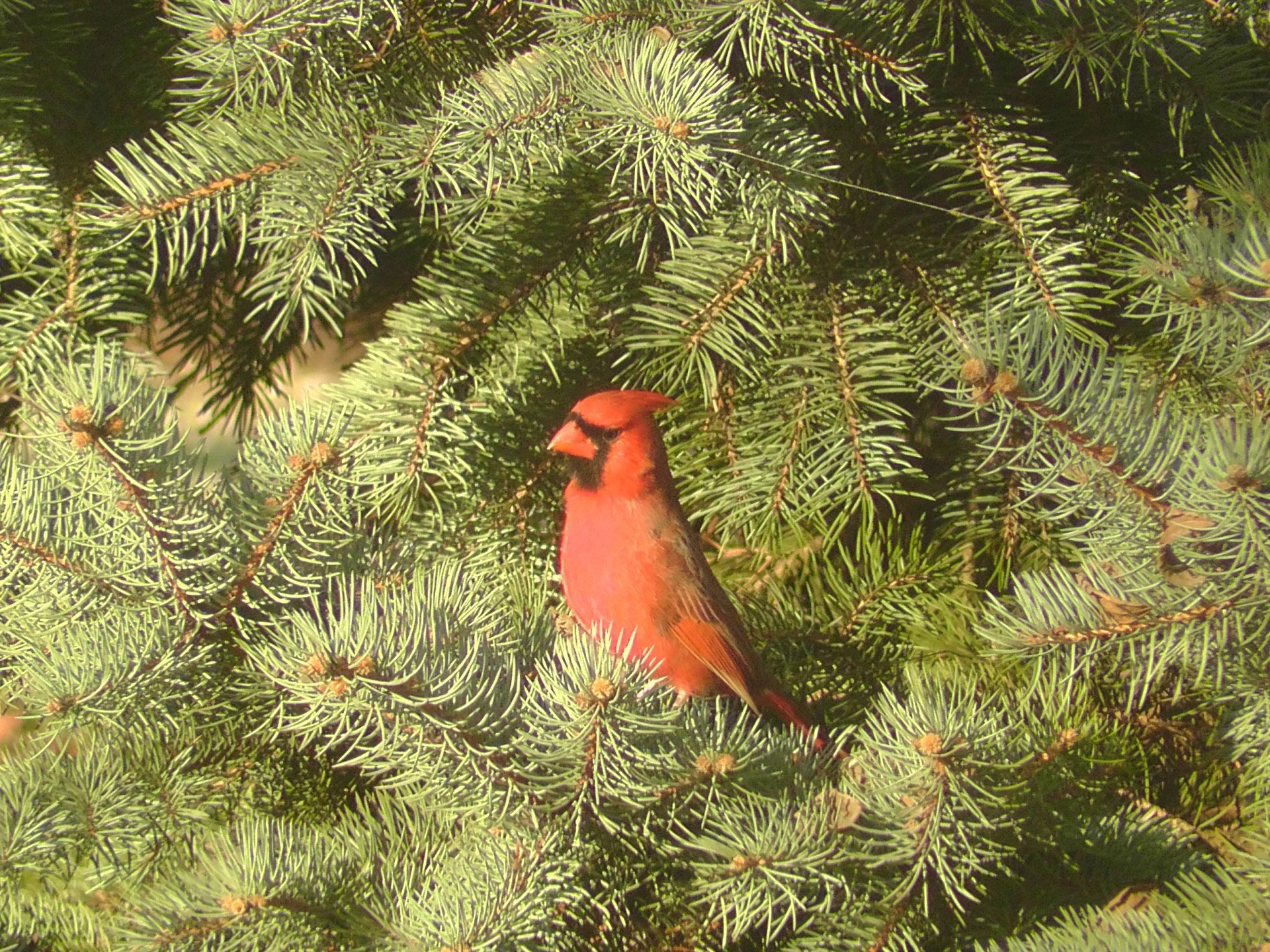 Evergreen How to Dress Cardinals in the Back Yard of Your Home (Great Tips)