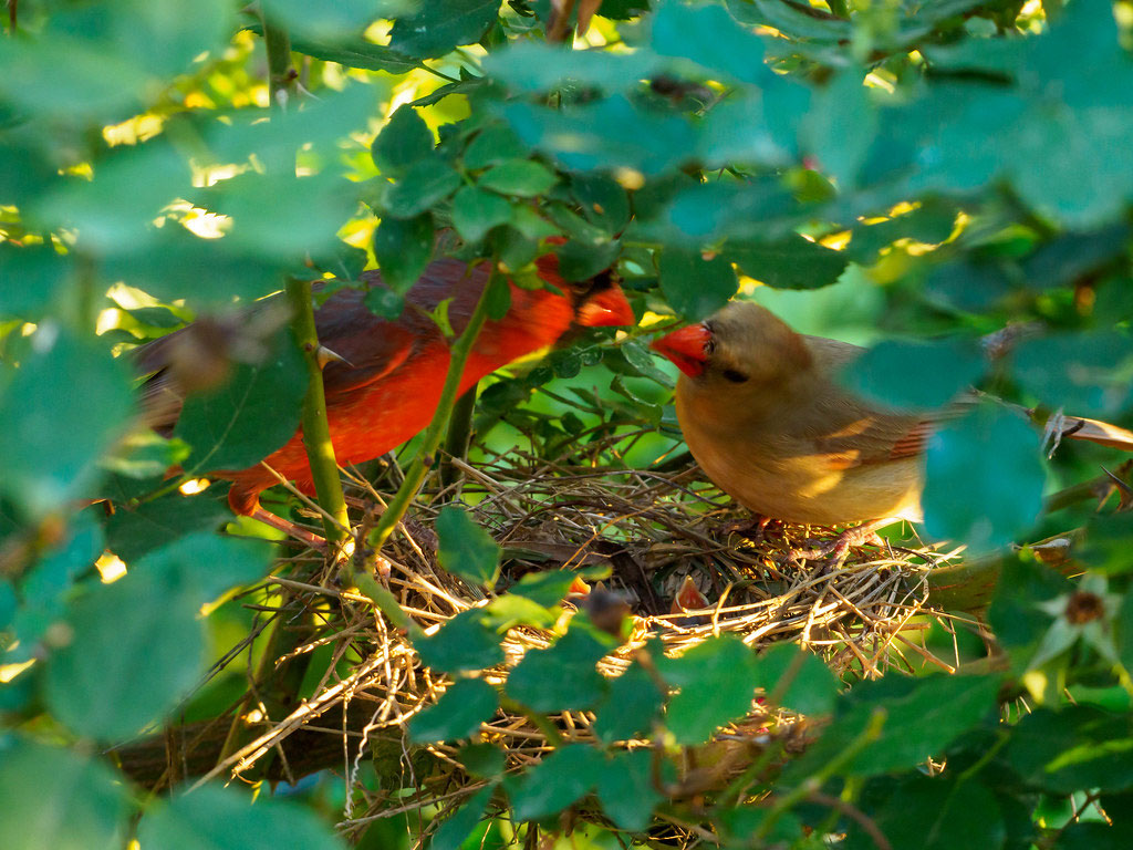 nest1 How to Dress Cardinals in the Back Yard of Your Home (Great Tips)