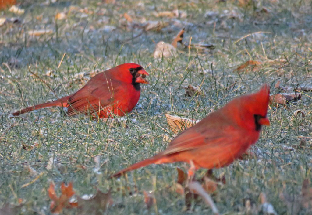 How to Dress Cardinals in the Back Yard of Your Home (Great Tips)