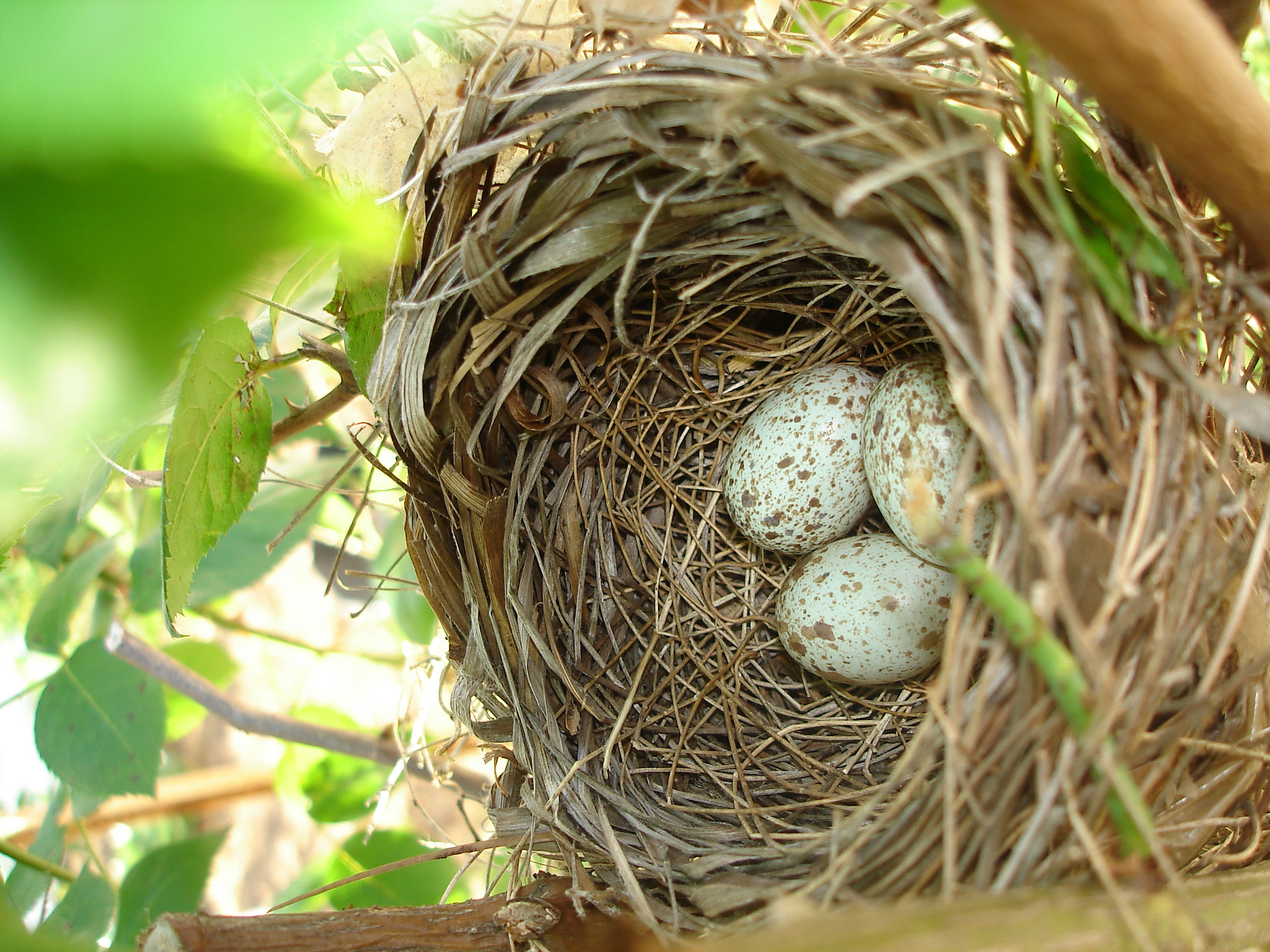 Nesting How to Dress Cardinals in the Back Yard of Your Home (Great Tips)