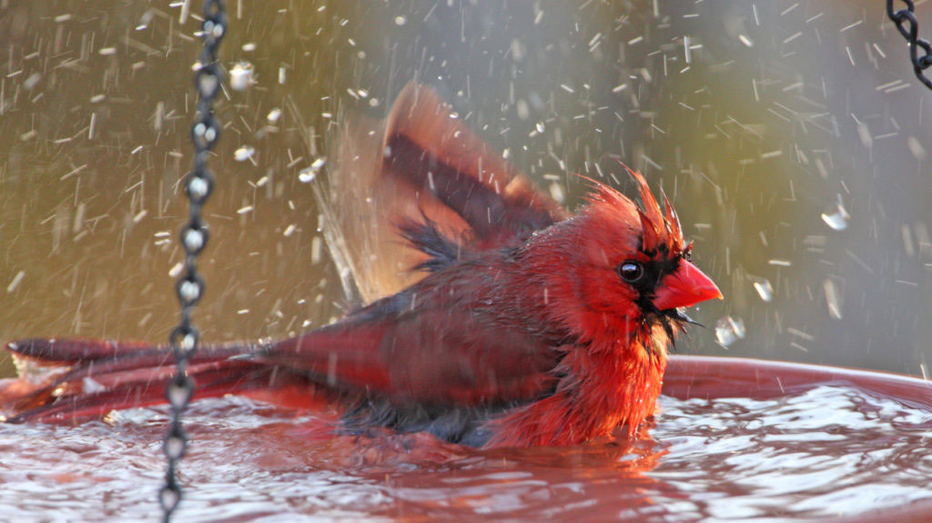 runnin How to Dress Cardinals in the Back Yard of Your Home (Great Tips)