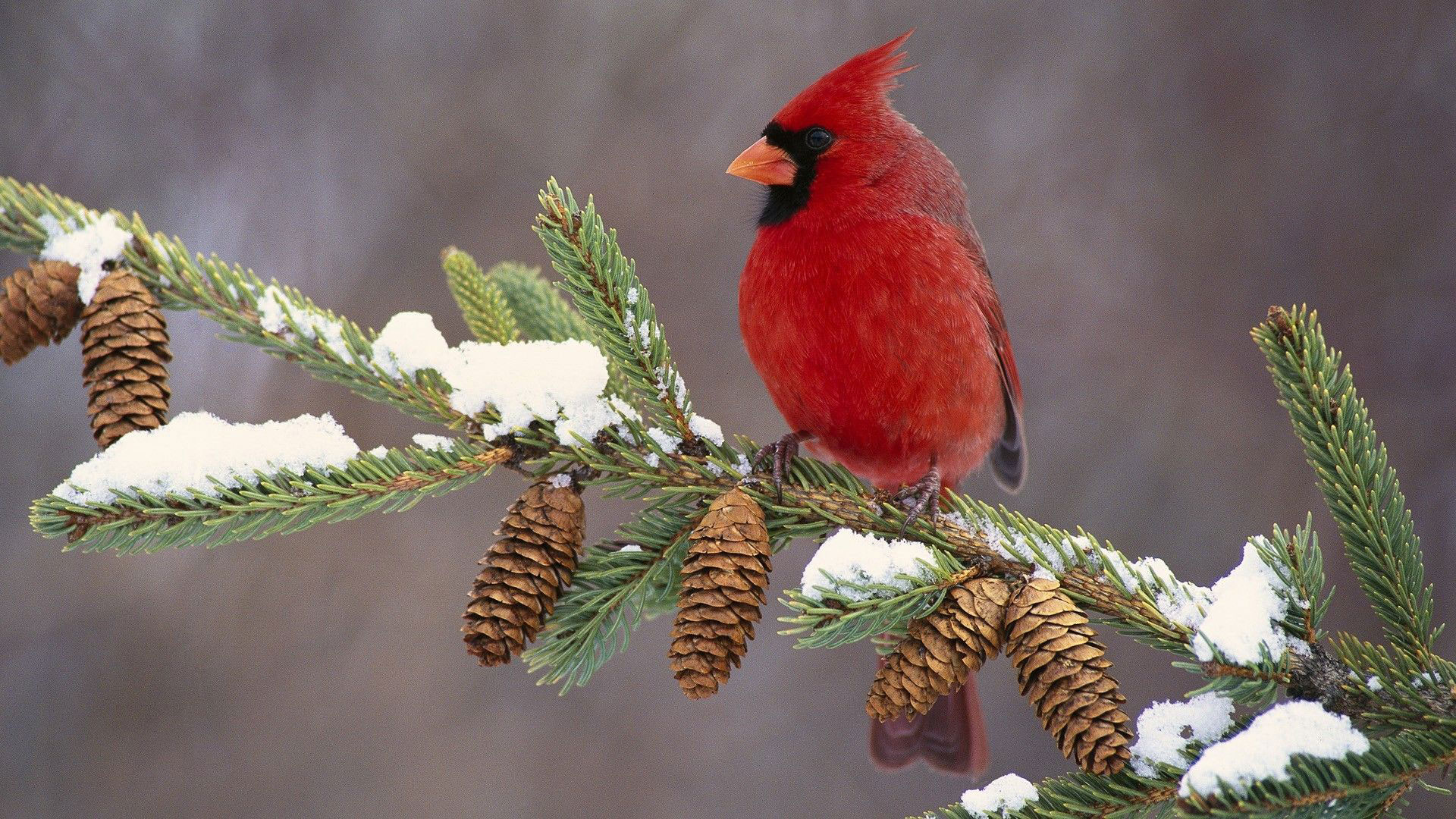 predato1 How to Dress Cardinals in the Back Yard of Your Home (Great Tips)