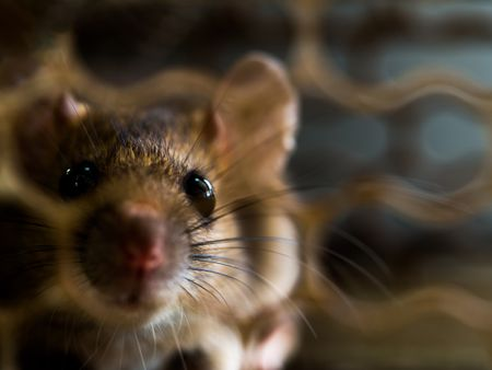 4 Destructive Things a Rat or Mouse Will Do in a Hou