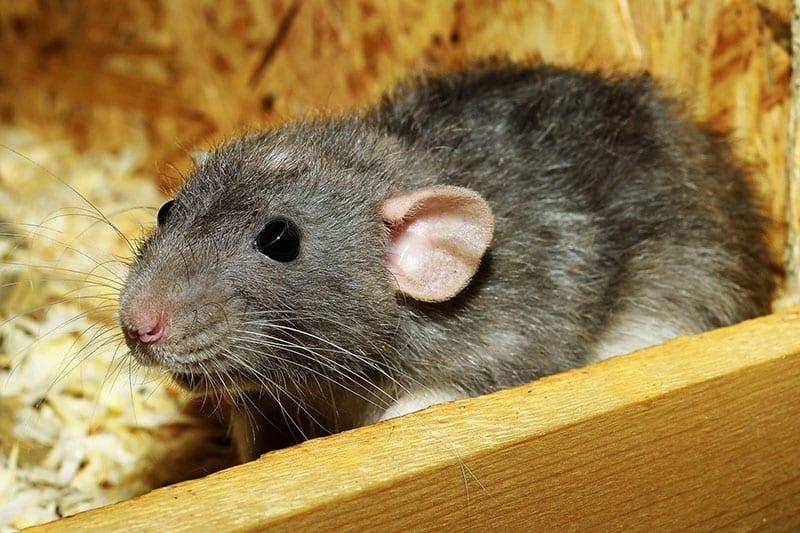 Aw Rats! 5 Telltale Signs You've Got a Rat Infestation at Ho