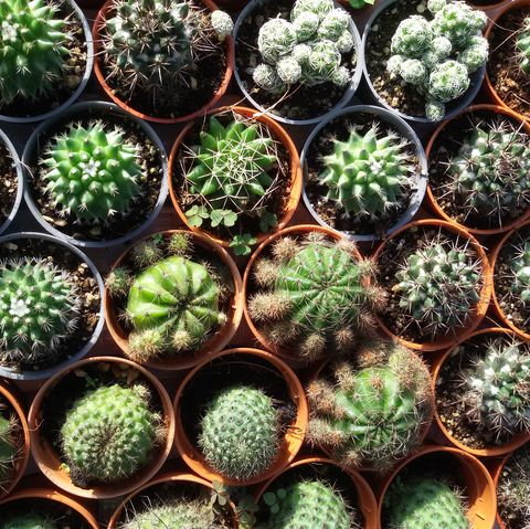 Cactus Plants - 9 Things To Know About The Cactus (Cact