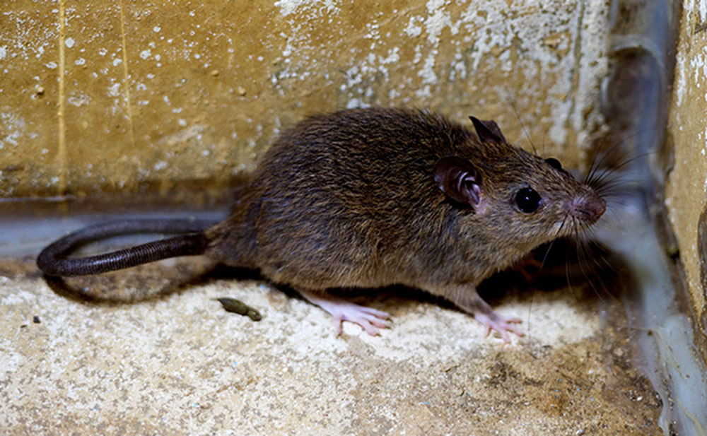 Roof rats How to get rid of roof rats once and for all