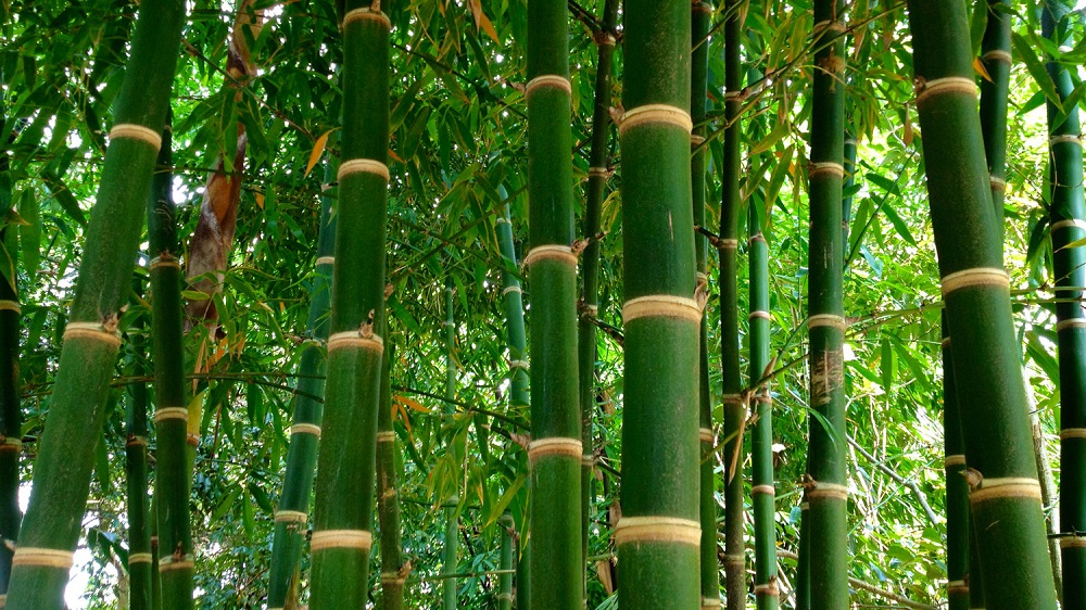 t2-2 The different types of bamboo you should know