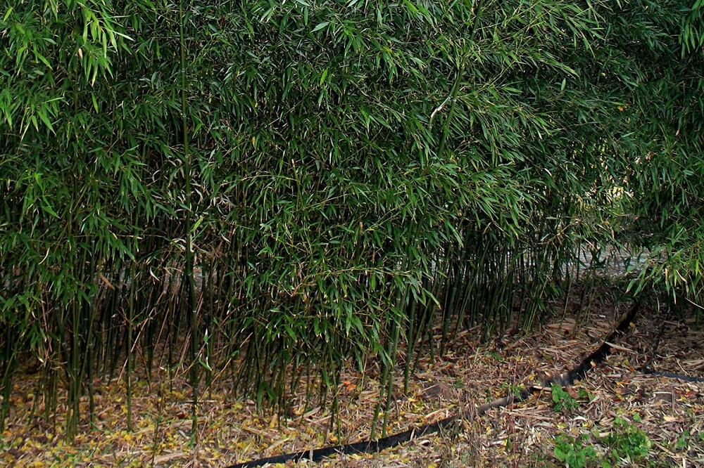 t3-105 The different types of bamboo you should know