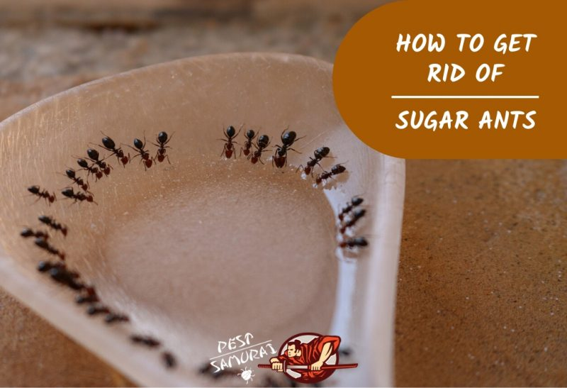 How to Get Rid of Sugar Ants in the House: A Complete Guide - Pest .