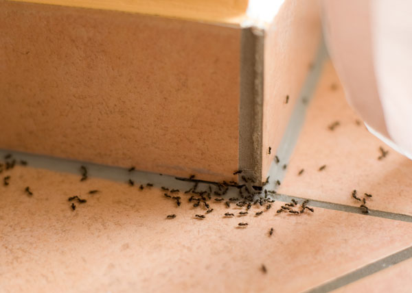 How to Get Rid of Ants | DIY Indoor & Outdoor Ant Treatment Guide .