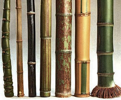 Bamboo types and bamboo facts, identifying bamboo plant type by sig