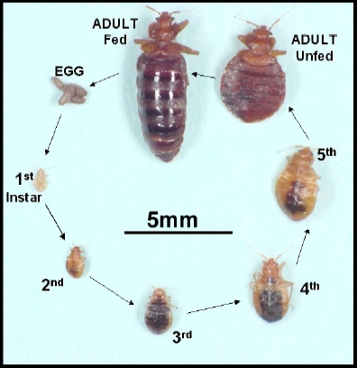 Bedbugs - pest control - health.v