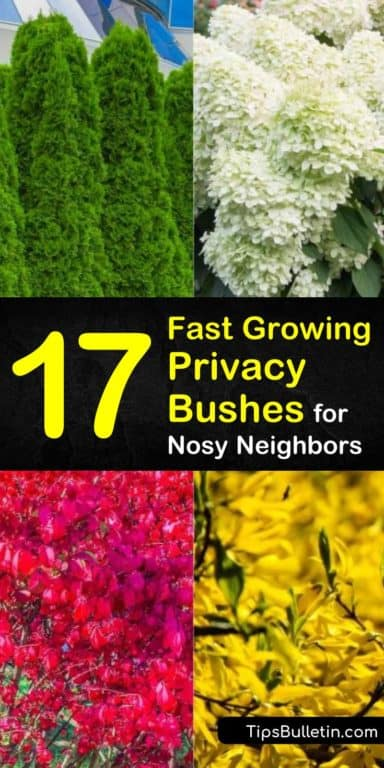 17 Fast Growing Privacy Bushes to Deal with Nosy Neighbors .