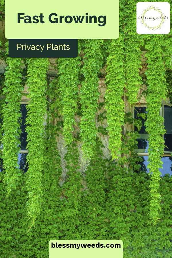 Fast growing privacy plants for use near   your home