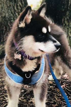 Cute Pomsky Dog Breed! Facts You Should Know about Pomsky | Pomsky .