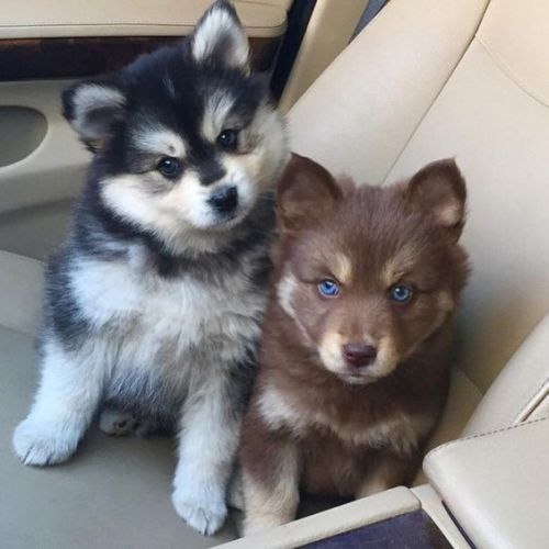 What Do You Need To Know Before Buying A Pomsky? - ThinkOfPup