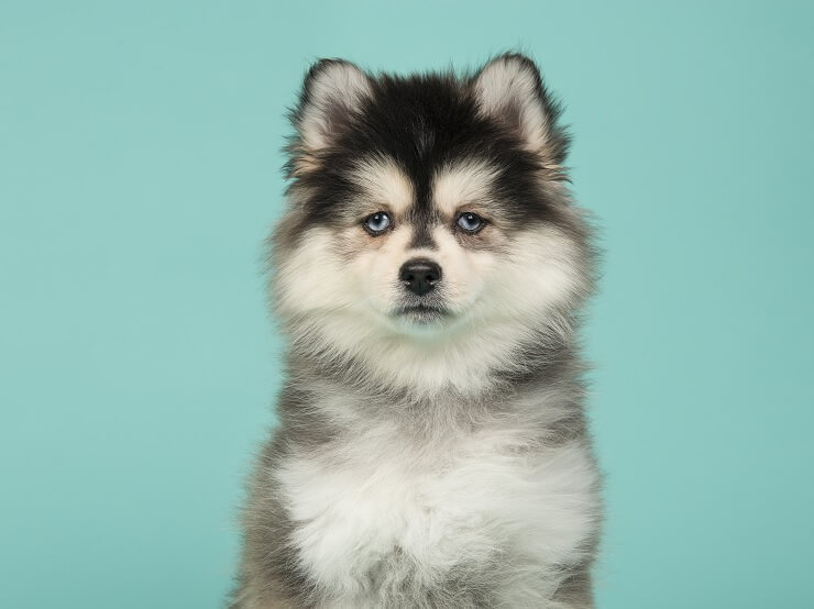 Pomsky Complete Guide: 5 Must Know Facts Before Buyi