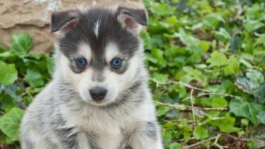 Five Facts You Must Know Before Buying a   Pomsky