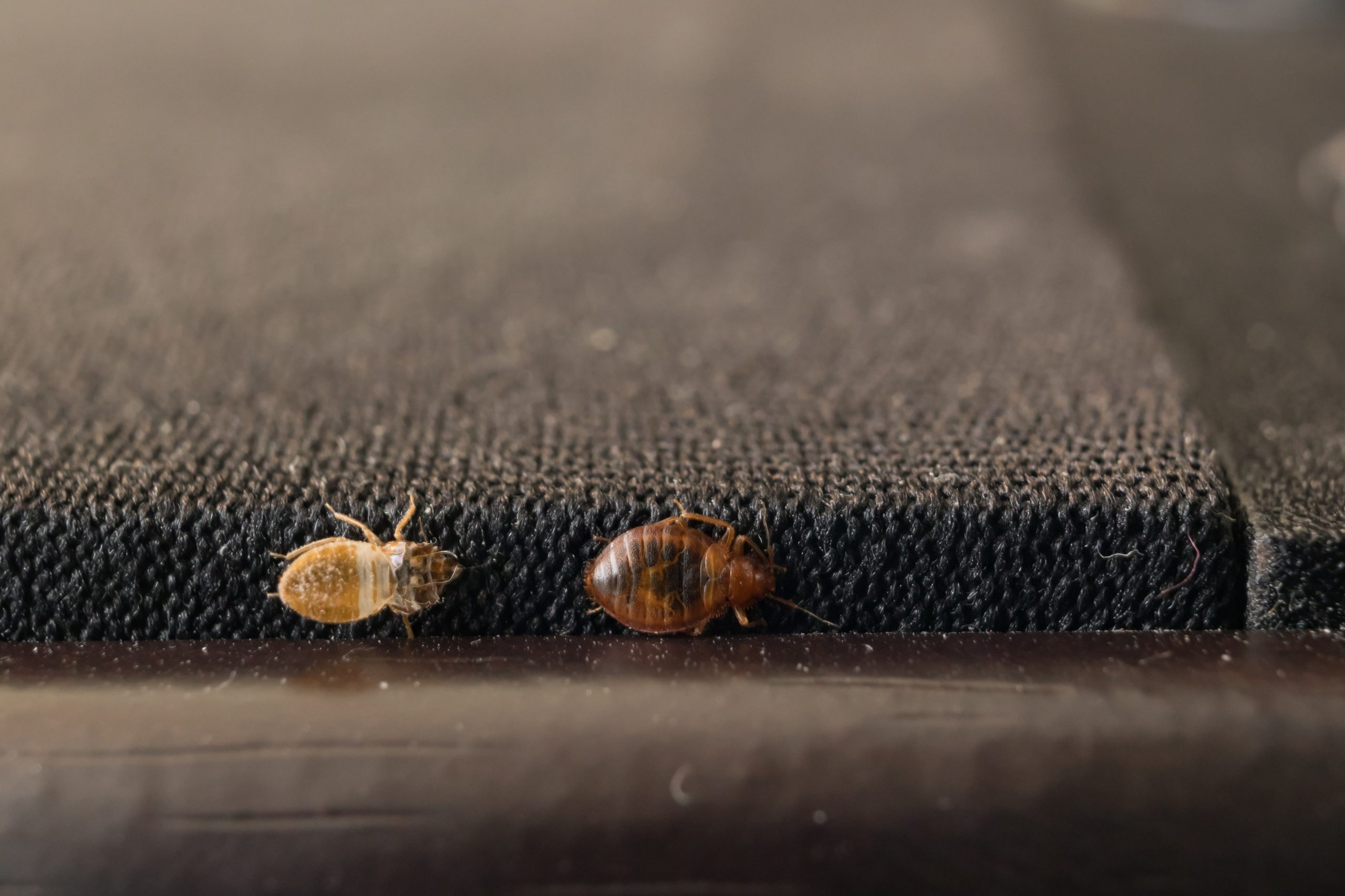 How quickly does bed bugs spread?