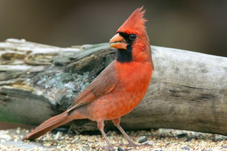 Attract Cardinals To Your Ya