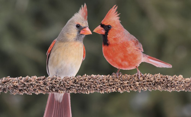Attract Cardinals to Your Yard: 7 Tips and 3 Things to Avo