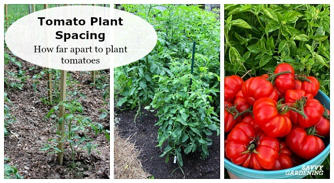 How Far Apart to Plant Tomatoes in a Vegetable Gard