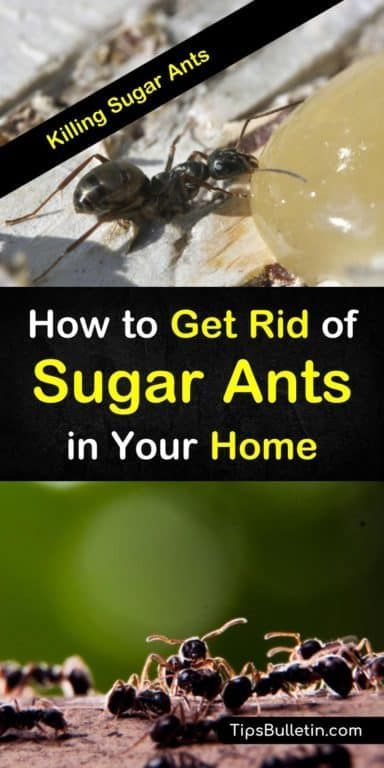 Tips for eliminating sugar ants in your   home